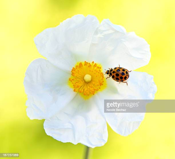 Cisrus x Hybridus flower with a ladybug