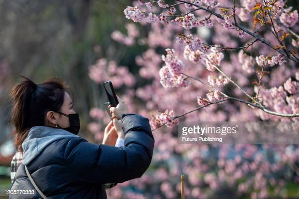 Citizen shoots cherry blossom in peace park, Nanjing City, Jiangsu Province, China, March 5, 2020. - PHOTOGRAPH BY Costfoto / Barcroft Studios /...