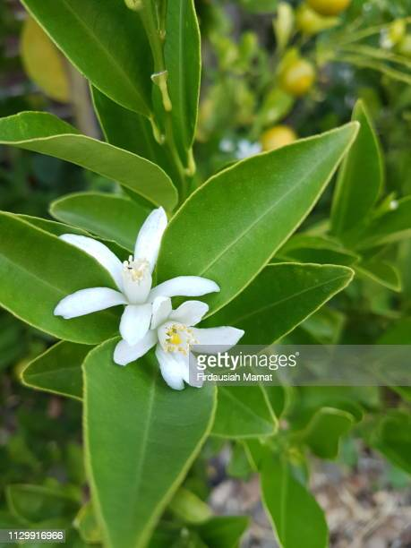 citrofortunella microcarpa, calamondin, calamansi citrus flowers - orange blossom stock photos and pictures