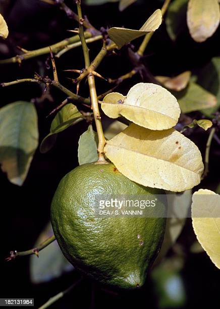 Citron , Rutaceae, in the citron-tree grove of The Cedars Farm, Santa Domenica Talao, Calabria, Italy.
