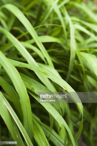 citronella (lemon grass) plant - lemon grass stock pictures, royalty-free photos & images