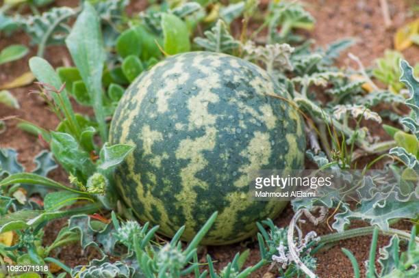 citrullus colocynthis locates saudi arabia that