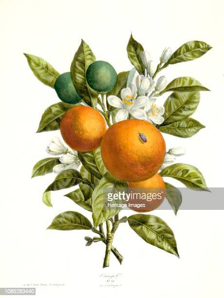 Citrus aurantiacus , 1730-1770. Orange trees are widely grown in tropical and subtropical climates for their sweet fruit. The fruit of the orange...