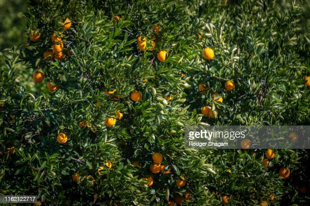 citrus fruit - grove stock pictures, royalty-free photos & images