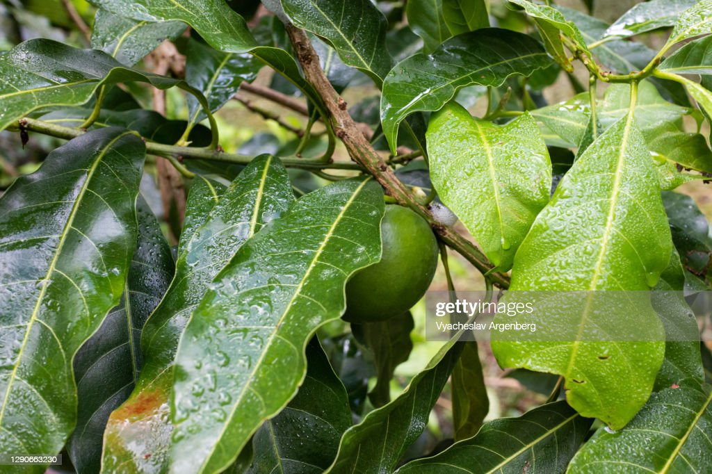 Citrus fruit tree in tropical rainforest, raindrops on leaves, Tawau Hills, Borneo, Malaysia : Stock Photo