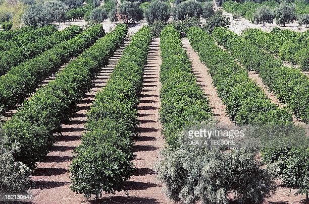 Citrus grove near Noto Sicily Italy