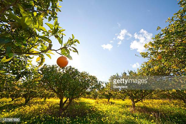 citrus grove - orange blossom stock photos and pictures