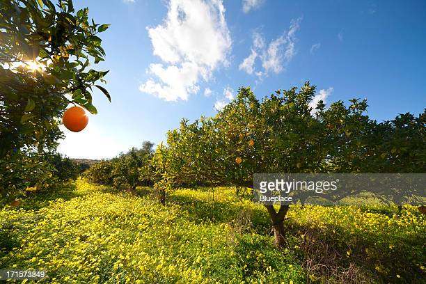 citrus grove - orchard stockfoto's en -beelden