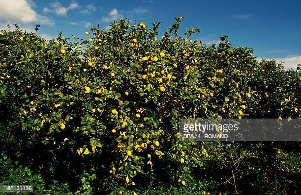 Citrus grove , Rutaceae, Conca d'Oro, Sicily, Italy.
