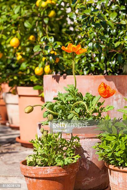 Citrus, poppies, Papaver, and common jasmine, Jasminum officinale, planted in clay pots standing in sunny garden