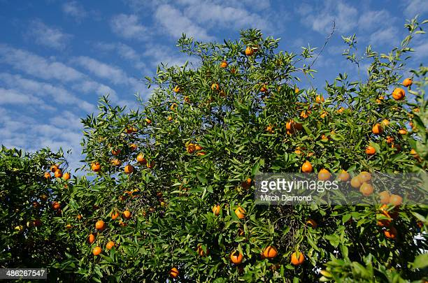 citrus tree with fruit - orange grove stock photos and pictures