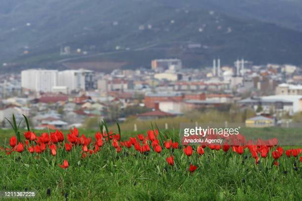 City centre is seen behind a red tulip field in Mus Plain on a spring day in Turkey's Mus province on April 28 2020 Mus Plain is a tectonic plain...