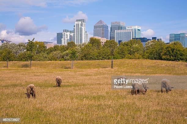 City farm in London Docklands with the view on Canary Wharf Financial Centre