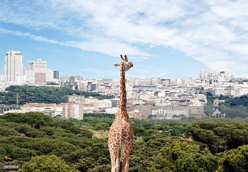 City Giraffe : Stock Photo