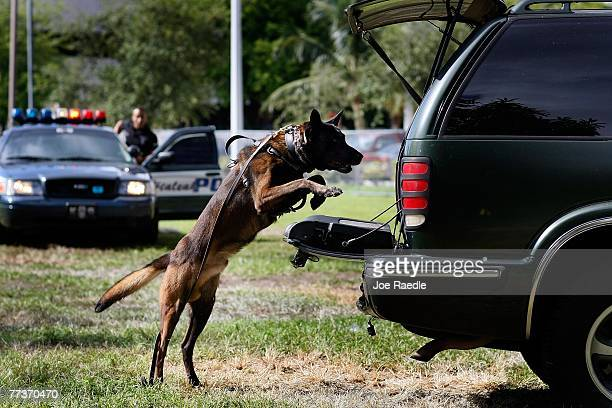 City of Hialeah police department K9 named Bill jumps into the back of a truck during a demonstration at the graduation ceremony of the Canine...