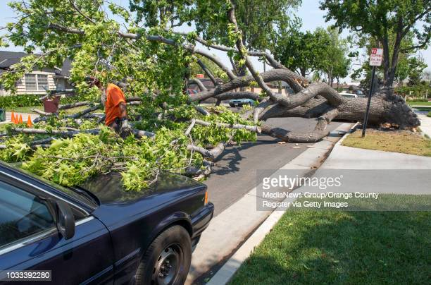 City of Santa Ana worker left makes his way through the branches of a tree that was blown down by the strong winds on the 1500block of Towner Street...