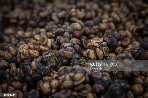 Civet cat faeces are displayed inside a 'Kopi Luwak' or Civet coffee farm and cafe on May 27 2013 in Tampaksiring Bali Indonesia World Society for...