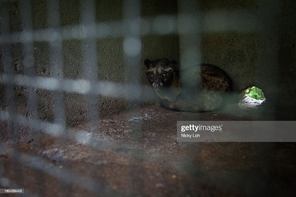 A civet cat looks out from a cage inside a 'Kopi Luwak' or Civet coffee farm and cafe on May 28, 2013 in Tampaksiring, Bali, Indonesia. World Society for the Protection of Animals (WSPA) commissioned research showing the true cost of the world's most expensive coffee, thousands of civets are being poached from the wild, kept in inhumane, conditions, and farmed to meet the growing global demand for civet coffee. The BBC are broadcasting a documentary on the Civets as part of their 'Our World' series this evening at 2300.