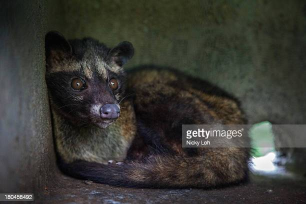 A civet cat looks out from a cage inside a 'Kopi Luwak' or Civet coffee farm and cafe on May 28 2013 in Tampaksiring Bali Indonesia World Society for...