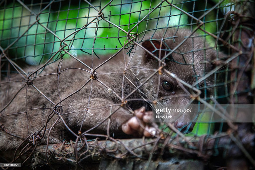 A civet cat looks out from a cage inside a 'Kopi Luwak' or Civet coffee farm and cafe on May 27, 2013 in Tampaksiring, Bali, Indonesia. World Society for the Protection of Animals (WSPA) commissioned research showing the true cost of the world's most expensive coffee, thousands of civets are being poached from the wild, kept in inhumane, conditions, and farmed to meet the growing global demand for civet coffee. The BBC are broadcasting a documentary on the Civets as part of their 'Our World' series this evening at 2300.