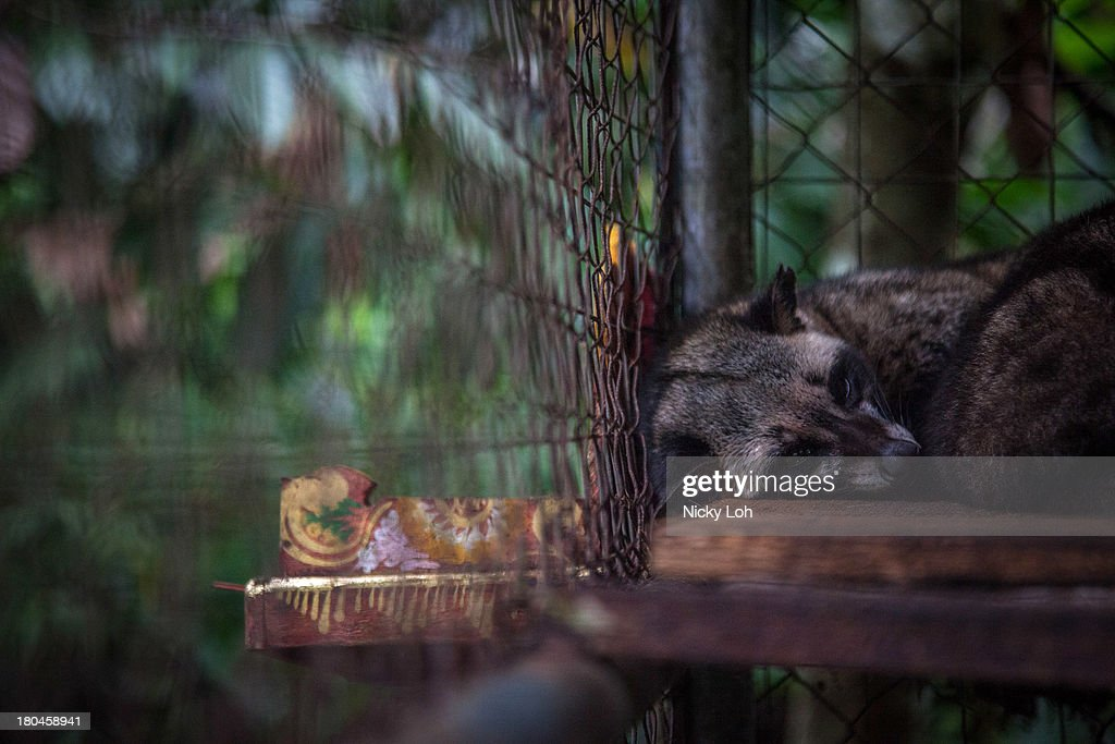A civet cat sleeps in a cage inside a 'Kopi Luwak' or Civet coffee farm and cafe on May 27, 2013 in Tampaksiring, Bali, Indonesia. World Society for the Protection of Animals (WSPA) commissioned research showing the true cost of the world's most expensive coffee, thousands of civets are being poached from the wild, kept in inhumane, conditions, and farmed to meet the growing global demand for civet coffee. The BBC are broadcasting a documentary on the Civets as part of their 'Our World' series this evening at 2300.