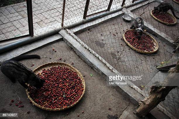 Civets is eating coffee during the production of Civet coffee the world's most expensive coffee in Bondowoso on August 11 2009 in East Java near...