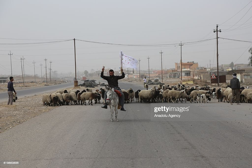 Civilians holding white flags in order not to be fired upon, are seen on the road with their sheep and goat, to find safer locations as the operation to retake Iraq's Mosul from Daesh continues, in Bazwaya village located near Kokceli neighborhood of Mosul where the Iraqi army arrived in, on November 1, 2016.