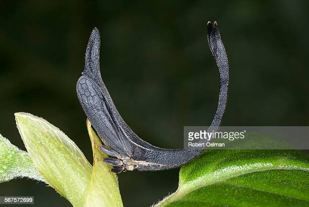 cladonota apicalis - phloem stock photos and pictures