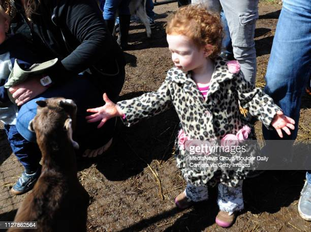 Claire Segall 18months wants to be friends with one of the goats Mountain Flower Goat Dairy in Boulder held a 'baby goat shower' on Saturday