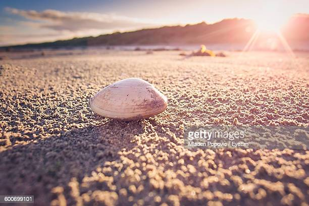 Clam On Beach During Sunset