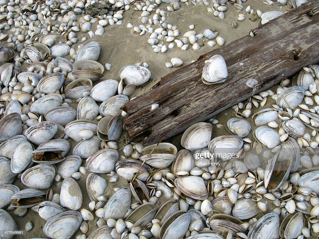 Clam Shells and Driftwood : Stock Photo