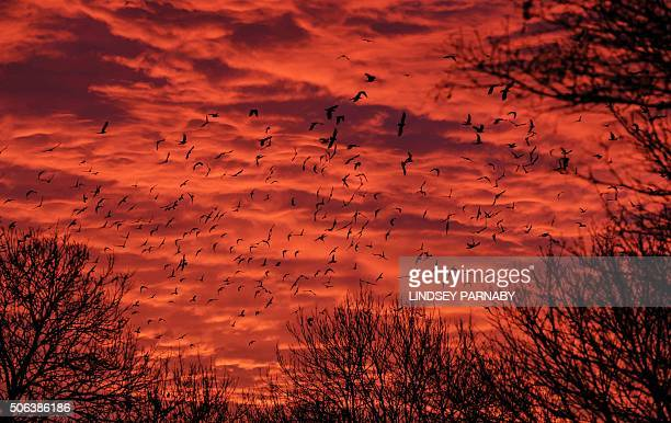 A 'clamour' of Rooks take flight from the trees as the sun rises near Boston Lincolnshire in eastern England on January 23 2016 AFP PHOTO / LINDSEY...