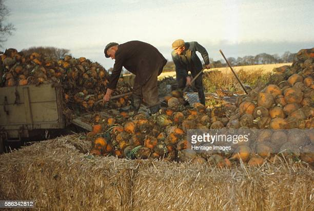 Clamp Swedes in late Autumn Yorkshire c1960 Farming is an important part of rural history Clamps are a traditional way of storing large quantities of...