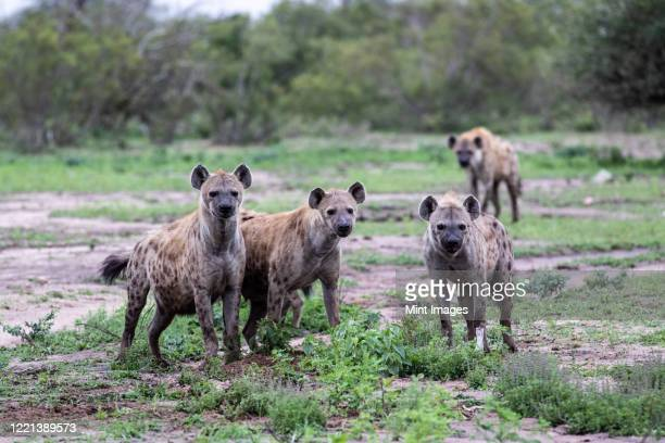 a clan of spotted hyenas, crocuta crocuta, stand together, direct gaze - spotted hyena stock pictures, royalty-free photos & images