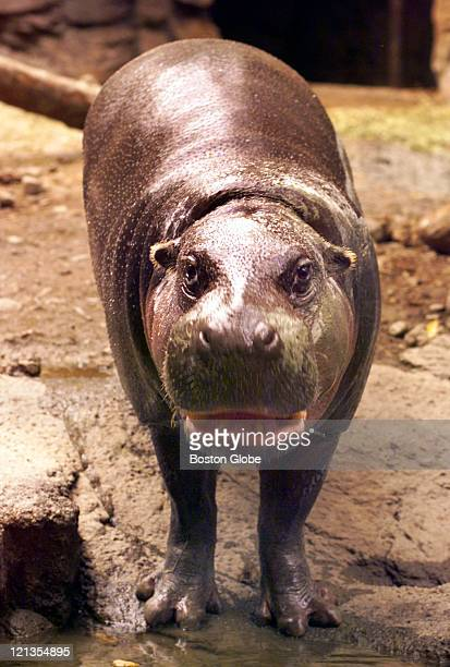 Clarence a 27 year old pygmy hippo at the Franklin Park Zoo