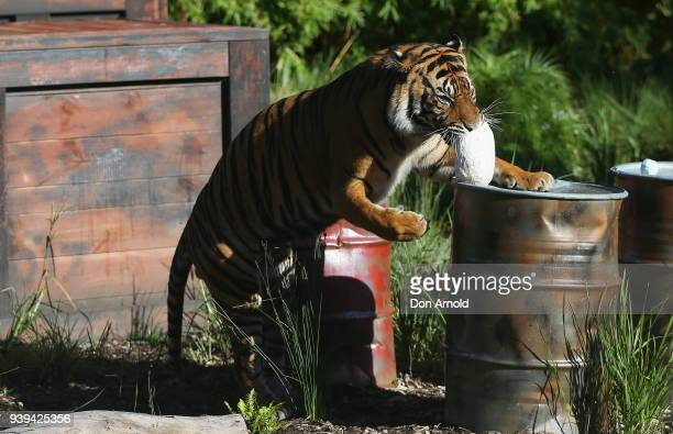 Clarence The Sumatran Tiger Eats Easter Treats Provided By Zoo Staff At Taronga Zoo On March
