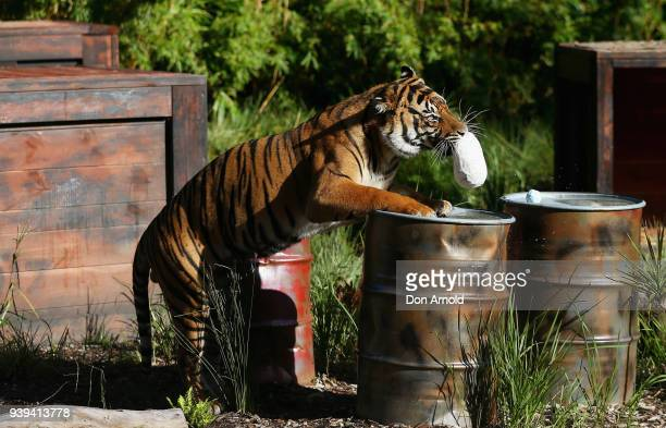 Clarence The Sumatran Tiger Eats Easter Treats Prvided By Zoo Staff At Taronga Zoo On March