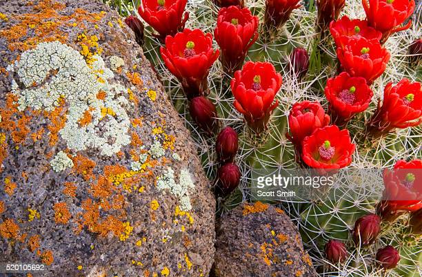 CAPITOL REEF NATIONAL MONUMENT, UTAH. USA. Claret cup cactus (Echinocereus triglochidiatus) in bloom & lichen on weathered basalt. Waterpocket Fold.