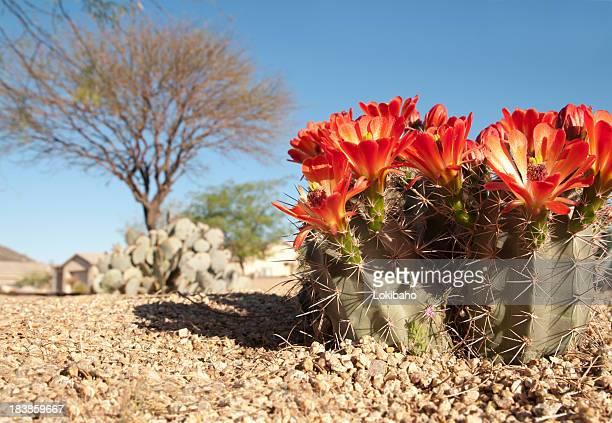 クラレットのカップハリネズミの花