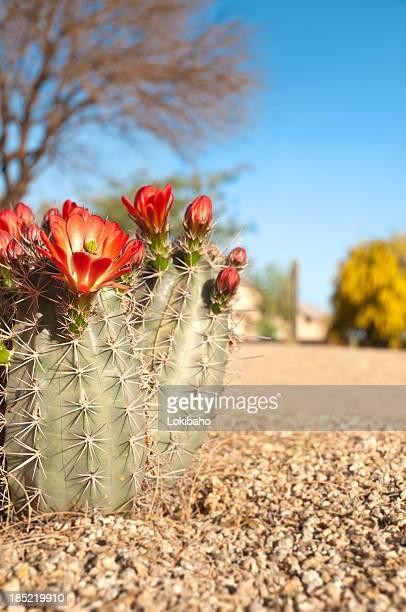 クラレットのカップヘッジホッグカクタスの花