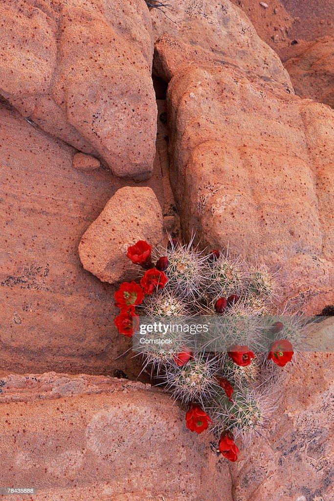 Claret-Cup Hedgehog Cactus in sandstone , Page , Arizona : Stockfoto
