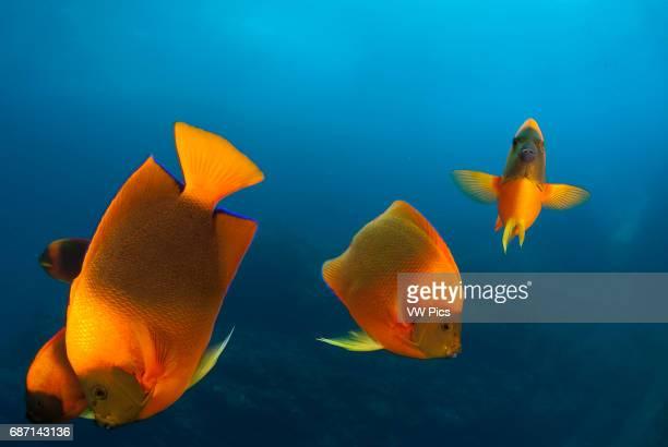 Clarion Angelfish Holacanthus clarionensis group in Socorro Island Revillagigedo archipelago Pacific ocean Mexico