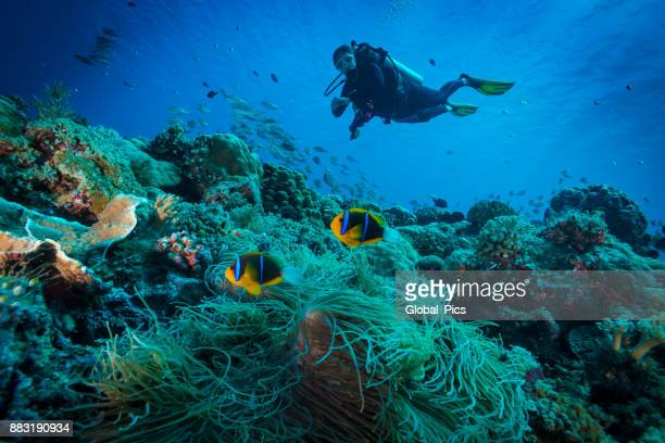 clark's anemonefish and diver - palau - orange fin clownfish stock photos and pictures