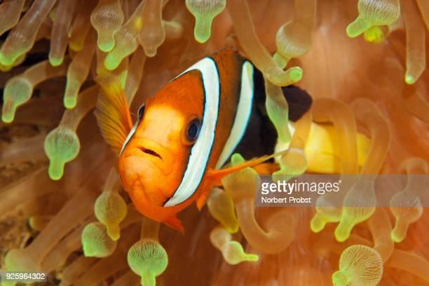 Clarks anemonefish (Amphiprion clarkii) in bladder anemone (Entacmaea quadricolor), Raja Ampat Archipelago, Papua Barat, Western New Guinea, Pacific Ocean, Indonesia
