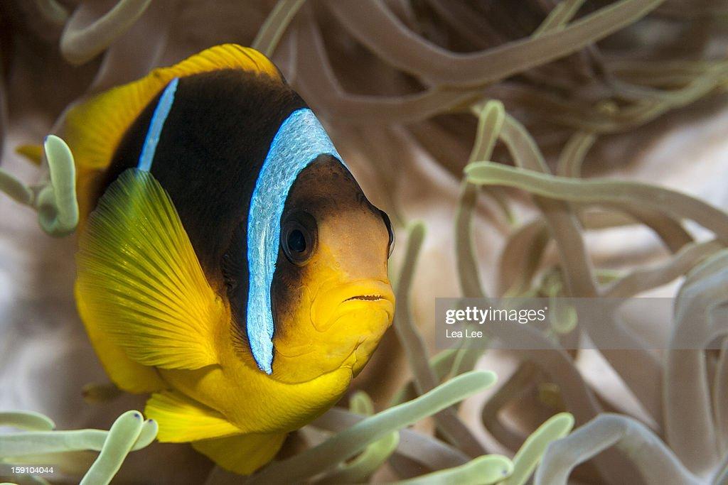 Clark's Anemonefish : Stockfoto