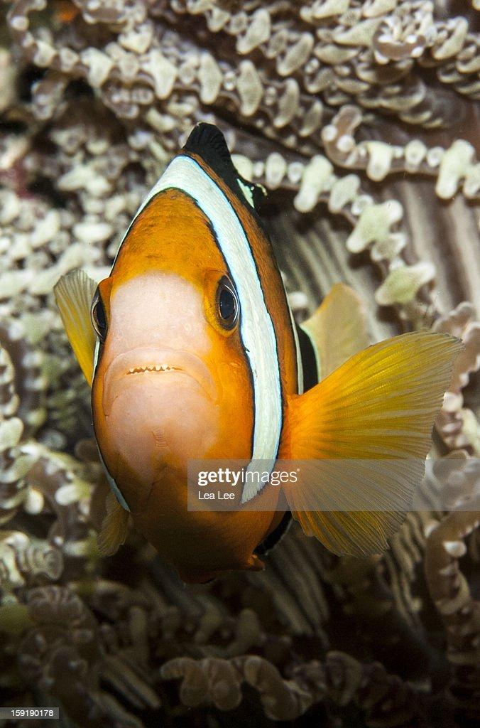Clark's Anemonefish : Stock Photo