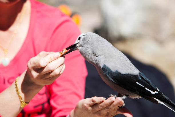 A Clarks Nutcracker (Nucifraga columbiana) being fed by a Japanese tourist above Lake Louise, Rocky Mountains, Canada.
