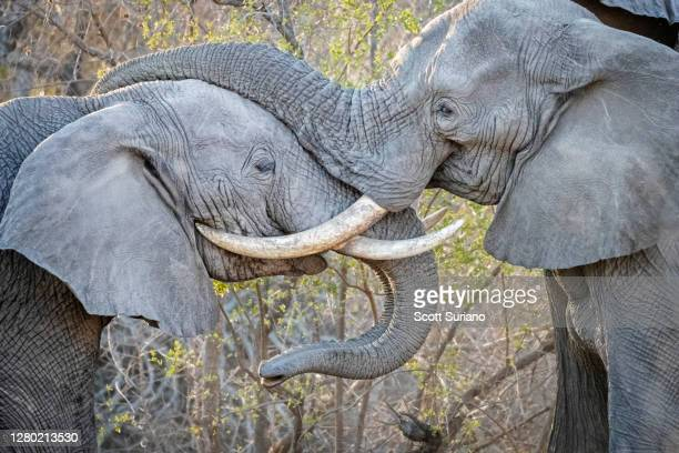 clash of the titans - south africa stock pictures, royalty-free photos & images