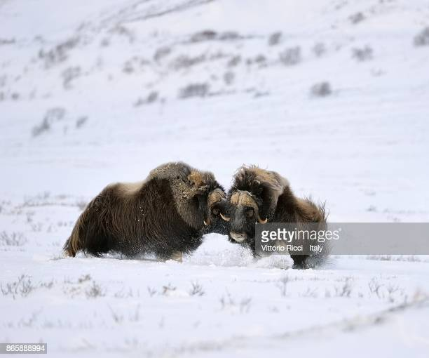 clash - musk ox stock photos and pictures