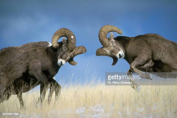 clashing bighorns - ram animal stock photos and pictures